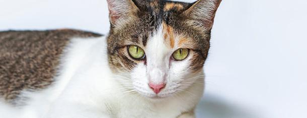 Kot macha ogonem – co oznaczają ruchy kociego ogona?