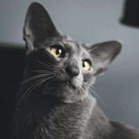 Kot orientalny – cena, charakter, pielęgnacja