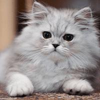 Kot perski miniaturowy – cena, charakter, pielęgnacja