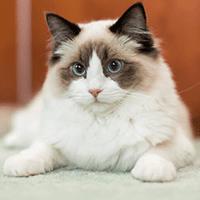 Kot rasy ragdoll – cena, charakter, pielęgnacja