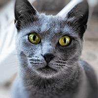 Kot rosyjski niebieski – cena, charakter, pielęgnacja