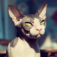Kot sfinks doński – cena, charakter, pielęgnacja