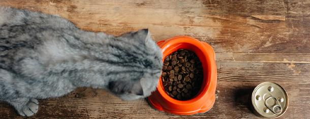 Kot wymiotuje po jedzeniu – jaka może być tego przyczyna?