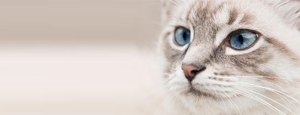 Rasy kotów o niebieskich oczach – jak często występują?