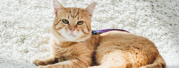 Kot z włosami – poznaj rasy kotów z włosami
