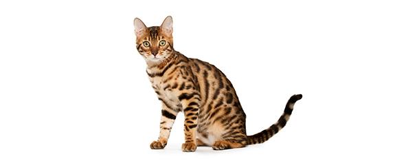 Koty rasowe – najpopularniejsze rasy kotów w Polsce