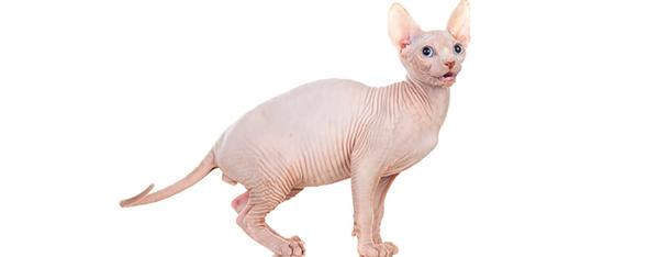 Kot bez sierści – poznaj rasy łysych kotów