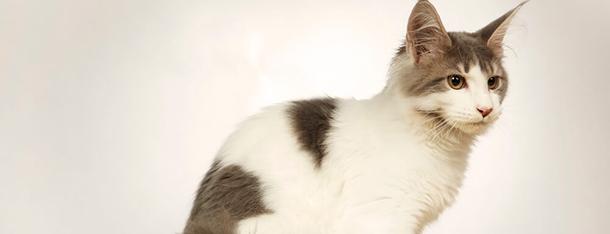Wielkie koty – najczęściej występujące rasy