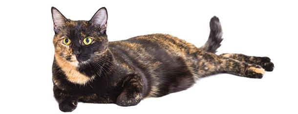 Szylkret – nietypowe umaszczenie kota. Sprawdź, jak wygląda!