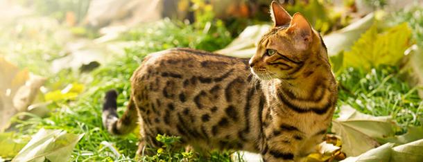 Najdroższe koty – za którą rasę trzeba zapłacić najwięcej?