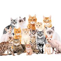 Rasy kotów – jakie są najpopularniejsze w naszym kraju?