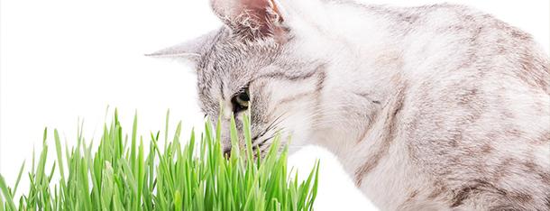 Trawa dla kota – dlaczego koty jedzą trawę?