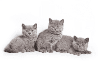 การเลือกลูกแมว