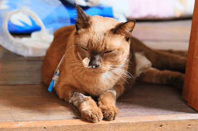 ปัญหาด้านสุขภาพที่พบได้บ่อยในแมวสูงอายุ