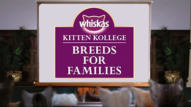 choosing a kitten breed kitten kollege video