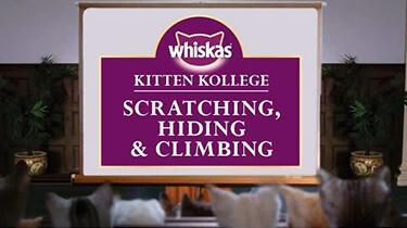 kitten scratching hiding climbing kitten kollege video